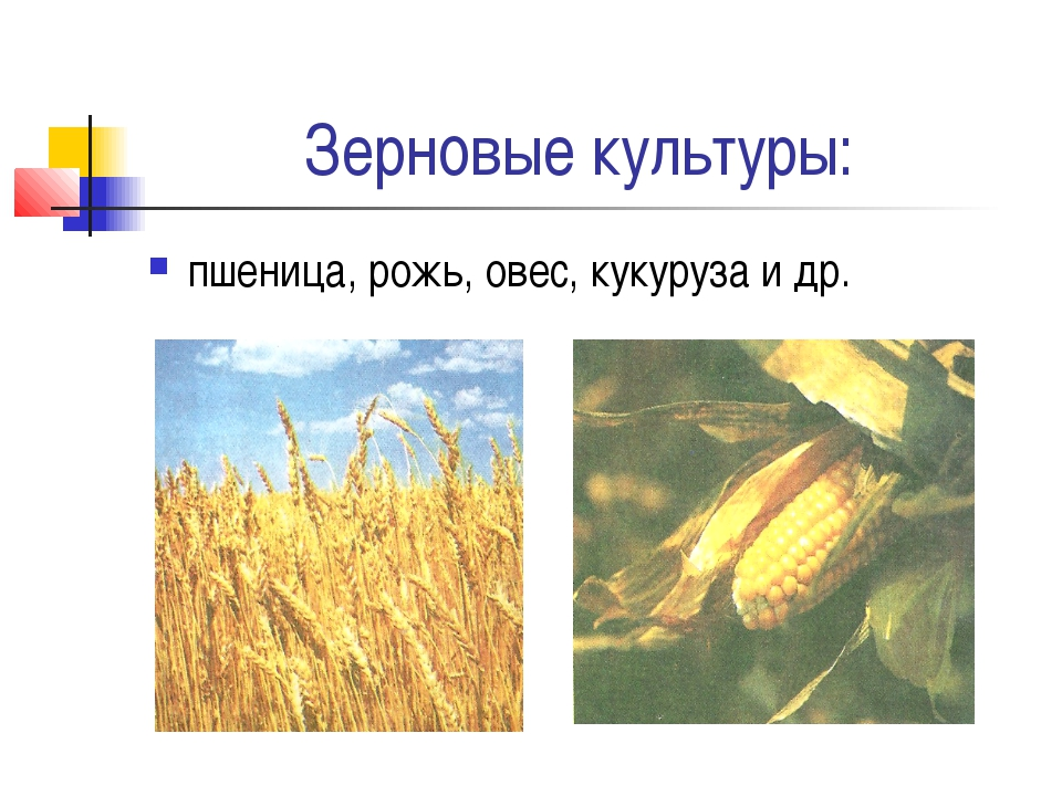 Зерновые культуры: пшеница, рожь, овес, кукуруза и др.