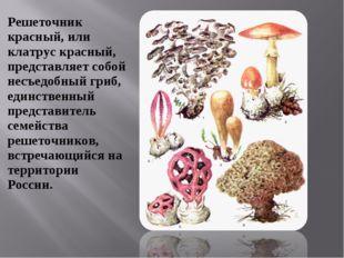 Решеточник красный, или клатрус красный, представляет собой несъедобный гриб,