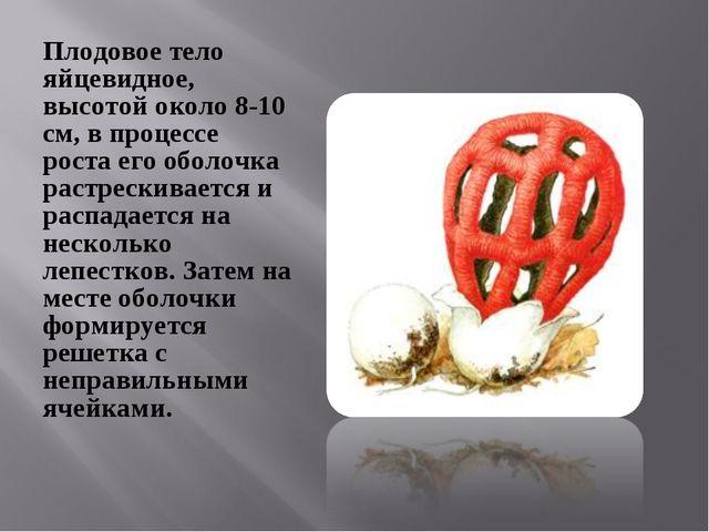 Плодовое тело яйцевидное, высотой около 8-10 см, в процессе роста его оболочк...