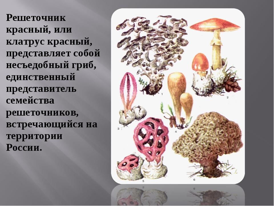 Решеточник красный, или клатрус красный, представляет собой несъедобный гриб,...
