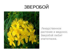 ЗВЕРОБОЙ Лекарственное растение и медонос. Зверобой любит златоглазка.