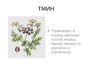 ТМИН Привлекает в период цветения клопов хитрых, пауков, мелких ос, журчалок