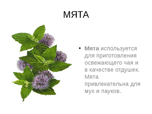 МЯТА Мятаиспользуется для приготовления освежающего чая и в качестве отдушек...