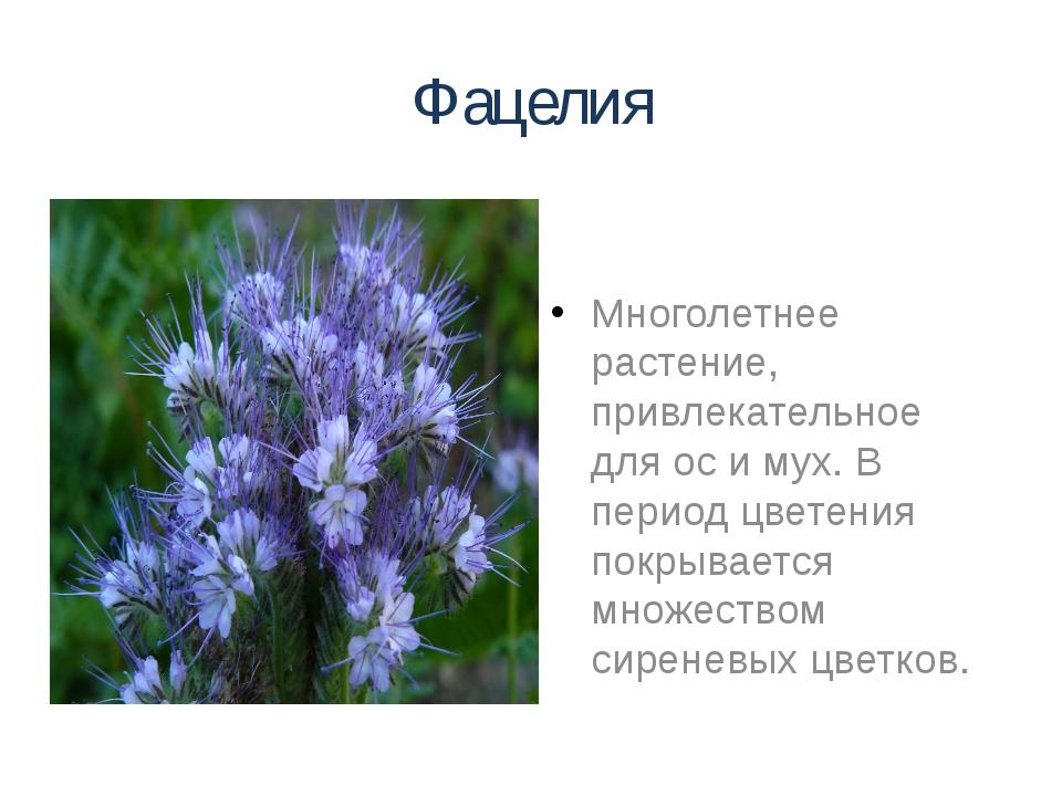 Фацелия Многолетнее растение, привлекательное для ос и мух. В период цветения...