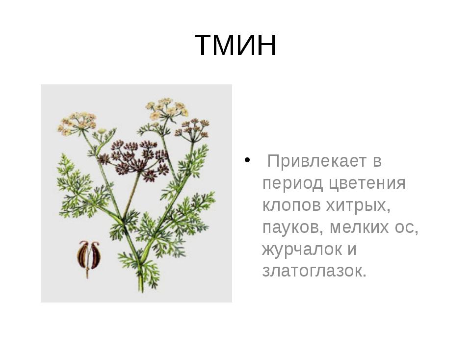 ТМИН Привлекает в период цветения клопов хитрых, пауков, мелких ос, журчалок...