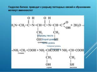 Гидролиз белков приводит к разрыву пептидных связей и образованию молекул ами
