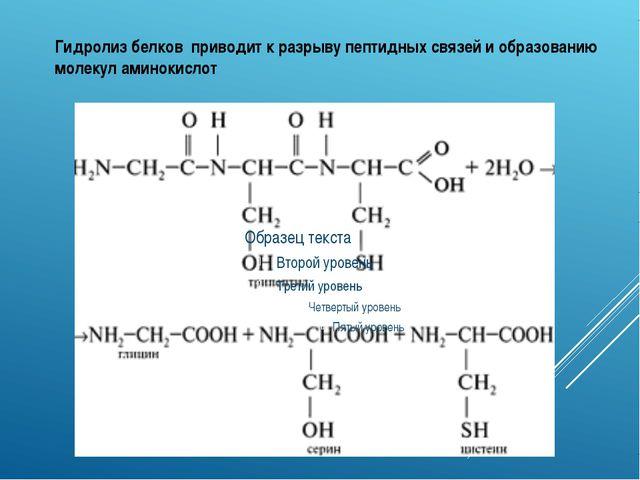 Гидролиз белков приводит к разрыву пептидных связей и образованию молекул ами...