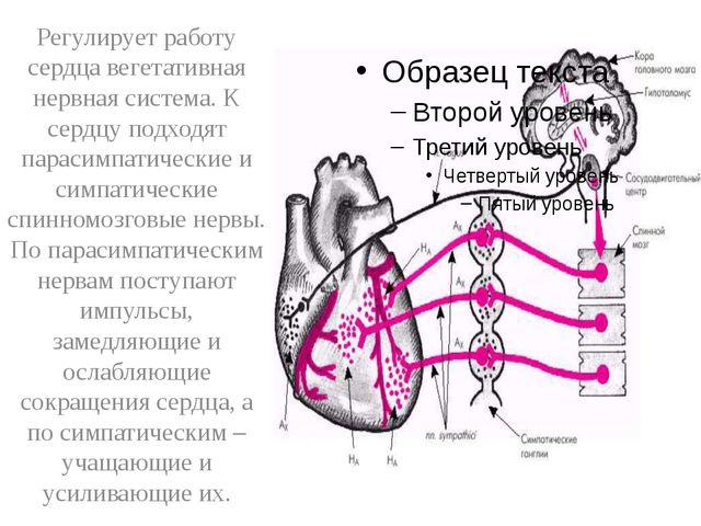 Регулирует работу сердца вегетативная нервная система. К сердцу подходят пар...