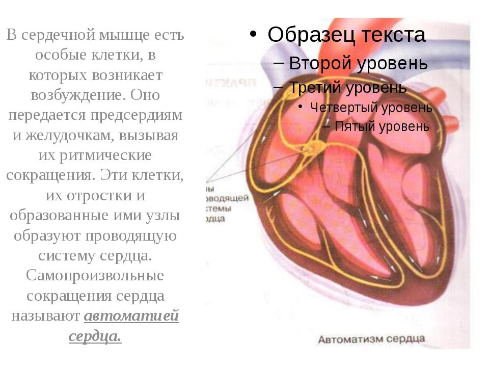 В сердечной мышце есть особые клетки, в которых возникает возбуждение. Оно п...