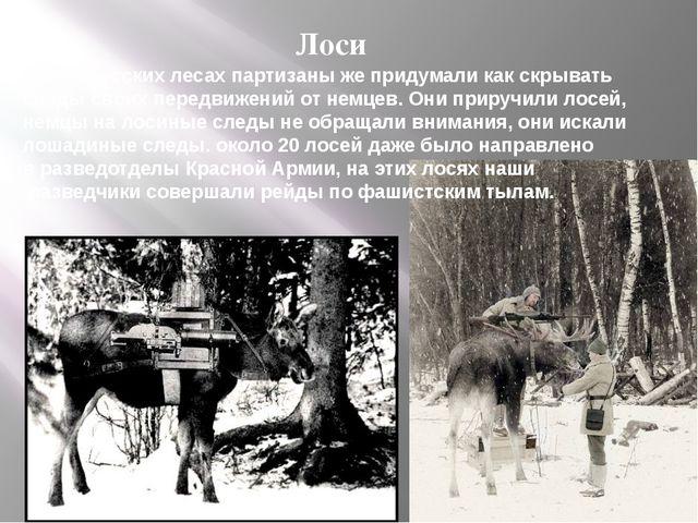 Лоси В белорусских лесах партизаны же придумали как скрывать следы своих пере...