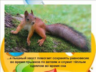 ...а пышный хвост помогает сохранять равновесие во время прыжков по ветвям и