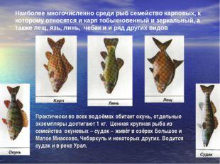 Наиболее многочисленно среди рыб семейство карповых, к которому относятся и к