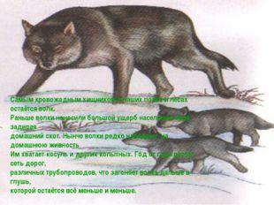 Самым кровожадным хищником в наших полях и лесах остаётся волк. Раньше волки