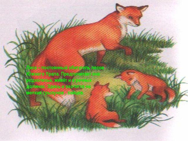 Лиса – постоянный обитатель лесов Южного Урала. Предпочитает она редколесье,...