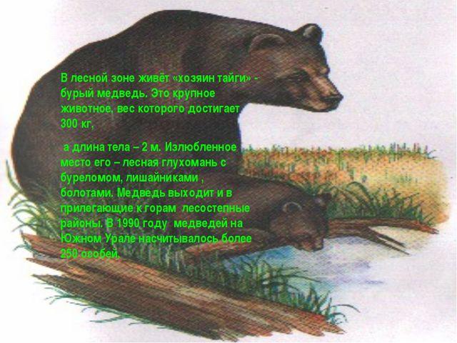 В лесной зоне живёт «хозяин тайги» - бурый медведь. Это крупное животное, вес...