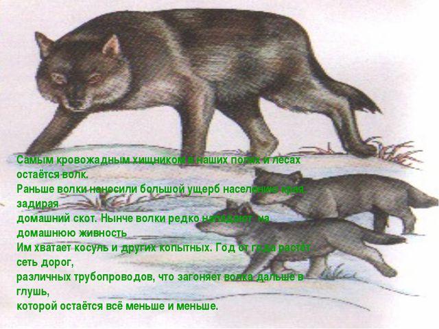 Самым кровожадным хищником в наших полях и лесах остаётся волк. Раньше волки...