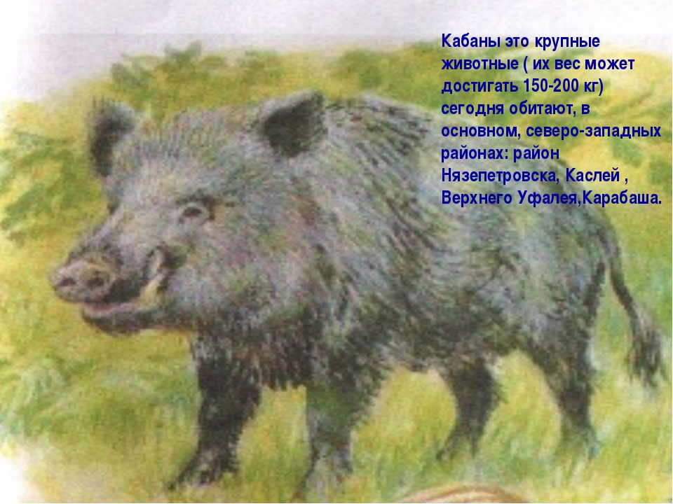 Кабаны это крупные животные ( их вес может достигать 150-200 кг) сегодня обит...