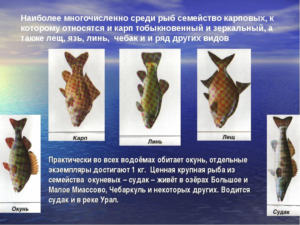 Наиболее многочисленно среди рыб семейство карповых, к которому относятся и к...