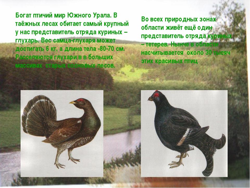 Богат птичий мир Южного Урала. В таёжных лесах обитает самый крупный у нас пр...