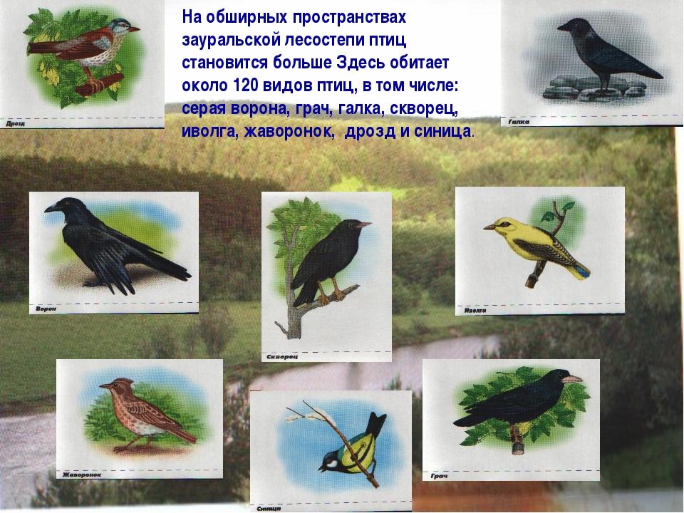 На обширных пространствах зауральской лесостепи птиц становится больше Здесь...