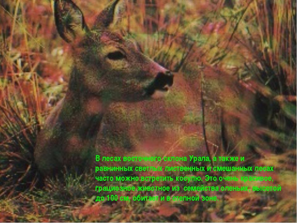 В лесах восточного склона Урала, а также и равнинных светлых лиственных и сме...