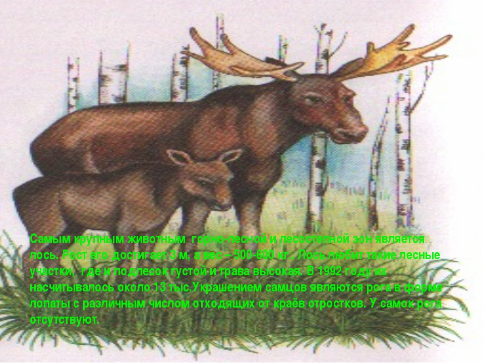 Самым крупным животным горно-лесной и лесостепной зон является лось. Рост его...
