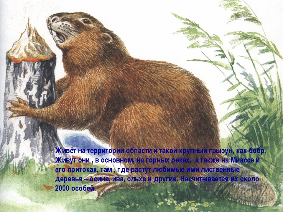 Живёт на территории области и такой крупный грызун, как бобр. Живут они , в о...
