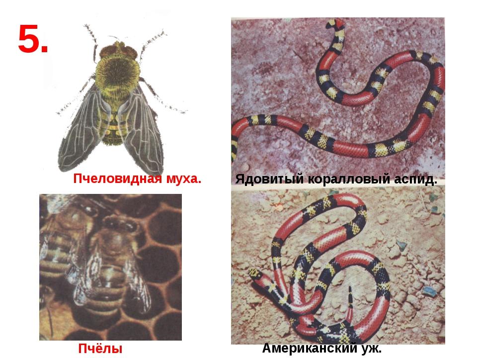 5. Пчёлы Пчеловидная муха. Ядовитый коралловый аспид. Американский уж.