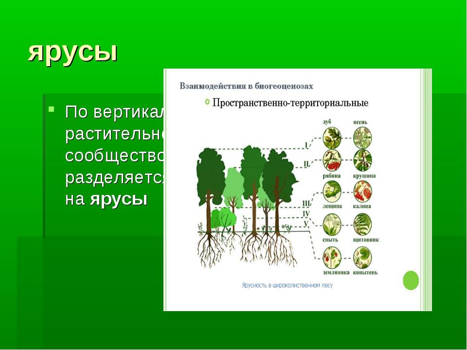 ярусы По вертикали растительное сообщество разделяется наярусы