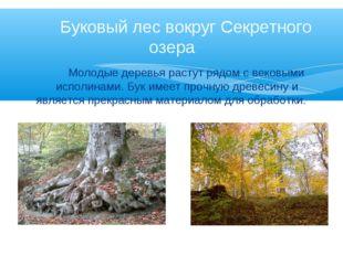 Молодые деревья растут рядом с вековыми исполинами. Бук имеет прочную древес