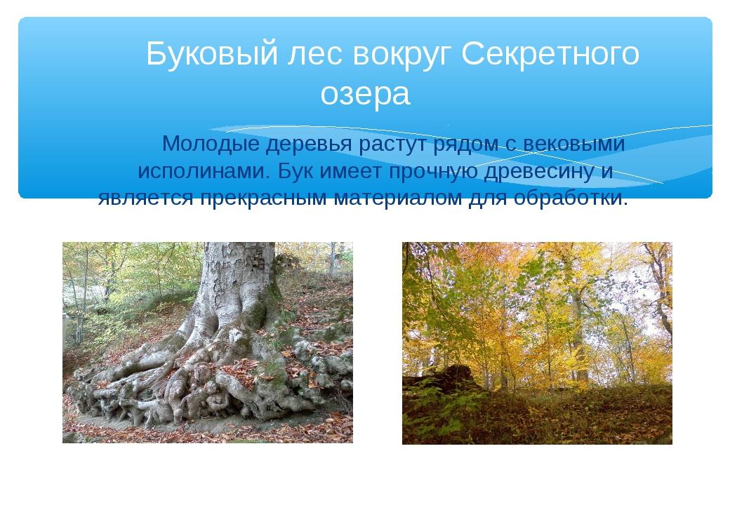 Молодые деревья растут рядом с вековыми исполинами. Бук имеет прочную древес...
