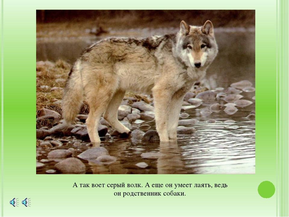 А так воет серый волк. А еще он умеет лаять, ведь он родственник собаки.