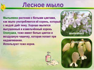 Мыльнянка растение с белыми цветами, как мыло употребляется её корень, которы
