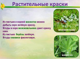 Из листьев и корней манжетки можно добыть серо-зелёную краску. Ягоды и кора м