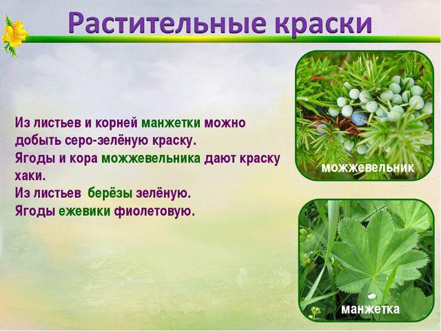 Из листьев и корней манжетки можно добыть серо-зелёную краску. Ягоды и кора м...