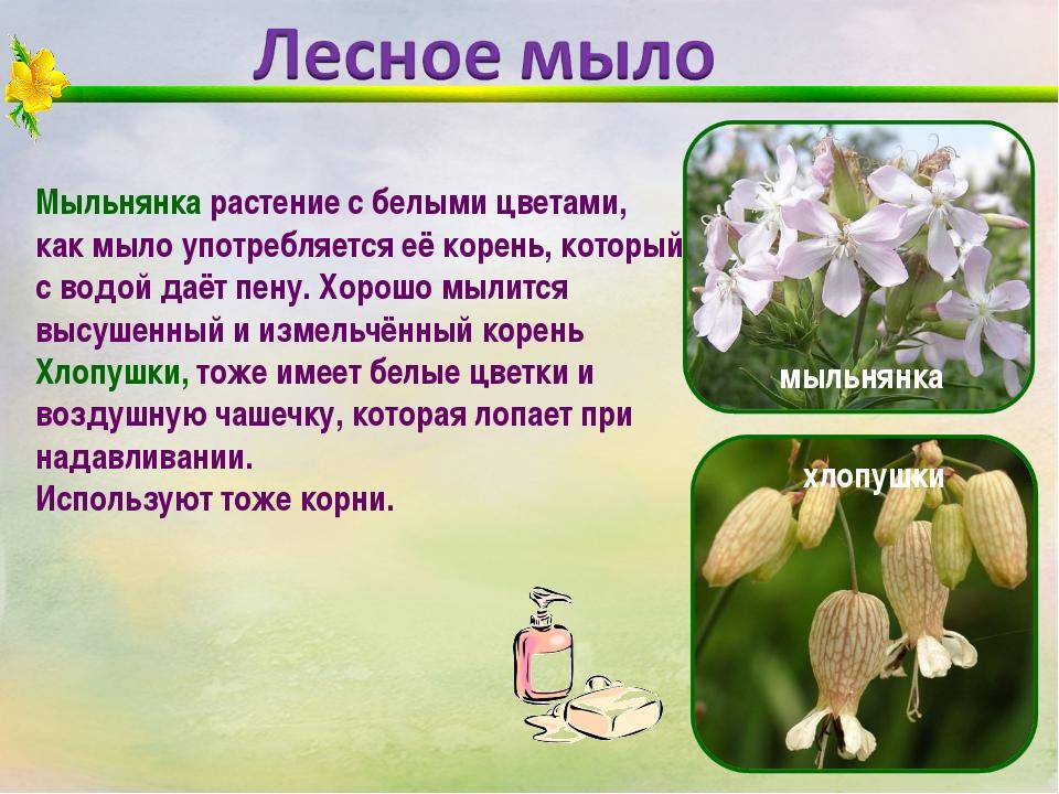 Мыльнянка растение с белыми цветами, как мыло употребляется её корень, которы...