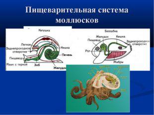 Пищеварительная система моллюсков