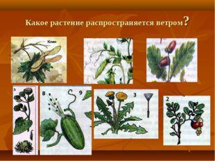 Какое растение распространяется ветром?