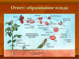 Ответ: образование плода