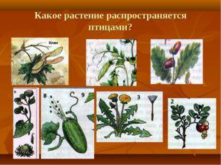 Какое растение распространяется птицами?