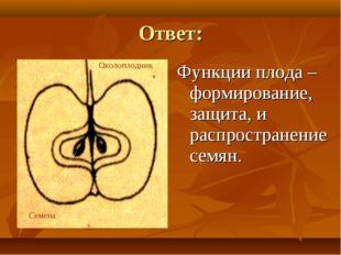 Ответ: Функции плода – формирование, защита, и распространение семян. Околопл