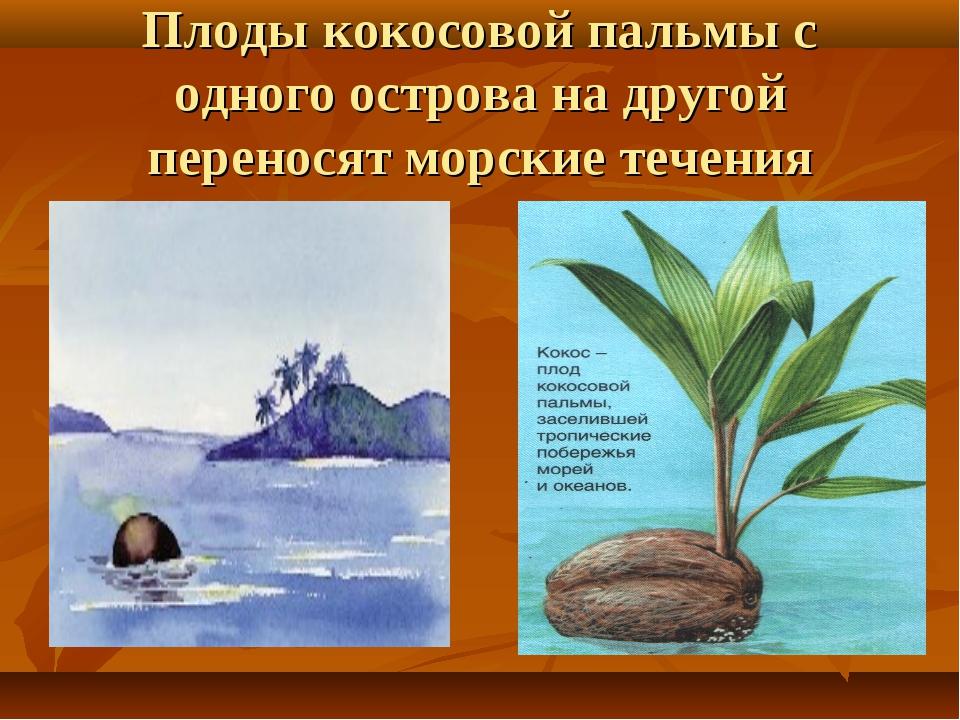 Плоды кокосовой пальмы с одного острова на другой переносят морские течения
