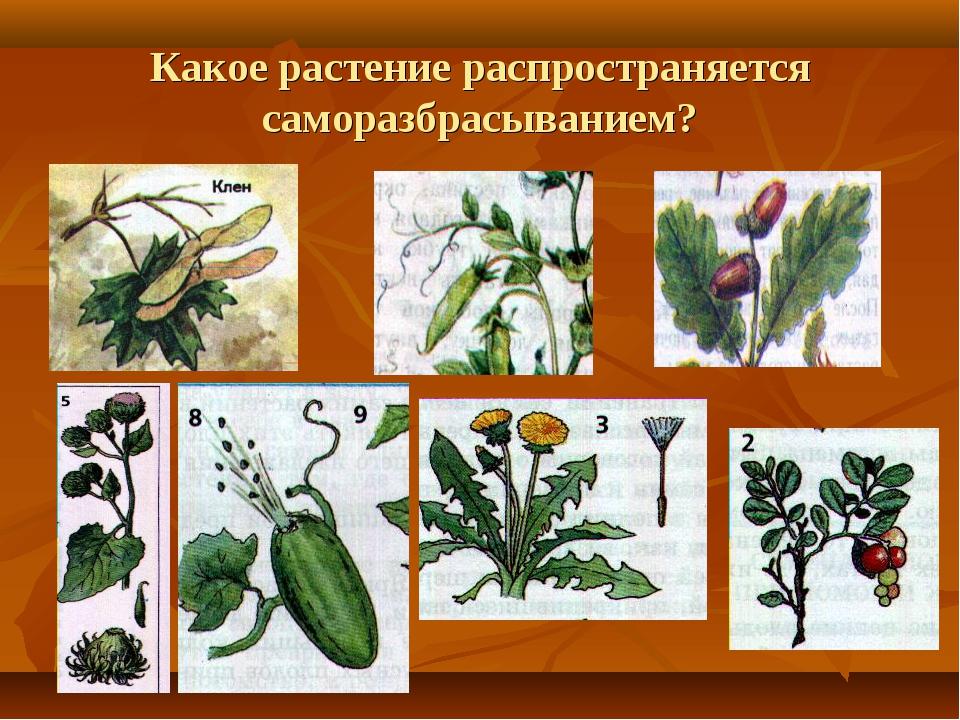 Какое растение распространяется саморазбрасыванием?