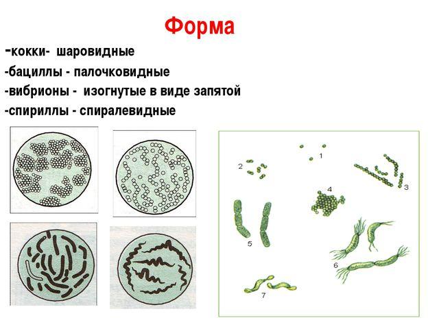 -кокки- шаровидные -бациллы - палочковидные -вибрионы - изогнутые в виде запя...