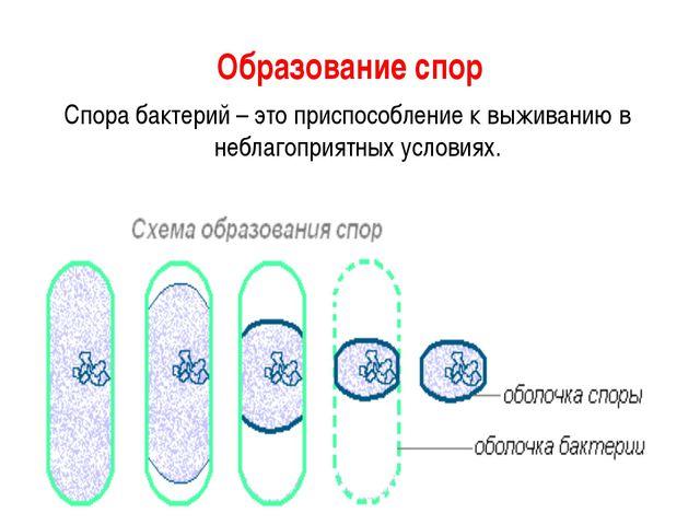 Образование спор Спора бактерий – это приспособление к выживанию в неблагопри...