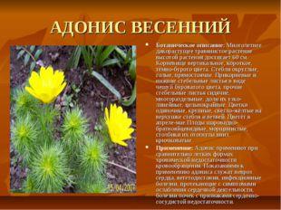 АДОНИС ВЕСЕННИЙ Ботаническое описание: Многолетнее дикорастущее травянистое р