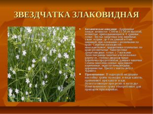 ЗВЕЗДЧАТКА ЗЛАКОВИДНАЯ Ботаническое описание : Корневище тонкое, ветвистое. С