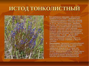 ИСТОД ТОНКОЛИСТНЫЙ Ботаническое описание: многолетнее травянистое растение с