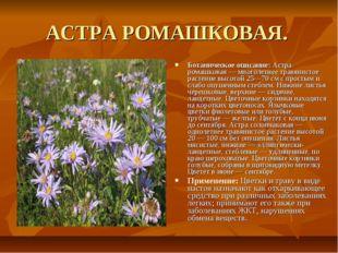 АСТРА РОМАШКОВАЯ. Ботаническое описание: Астра ромашковая — многолетнее травя