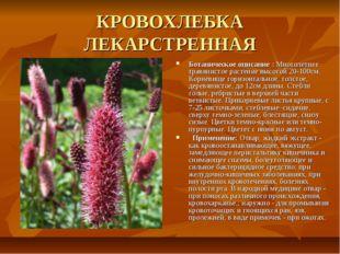 КРОВОХЛЕБКА ЛЕКАРСТРЕННАЯ Ботаническое описание : Многолетнее травянистое рас